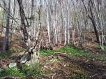 Po starih breginjskih poteh_8 (čemaž - gozdni česen)